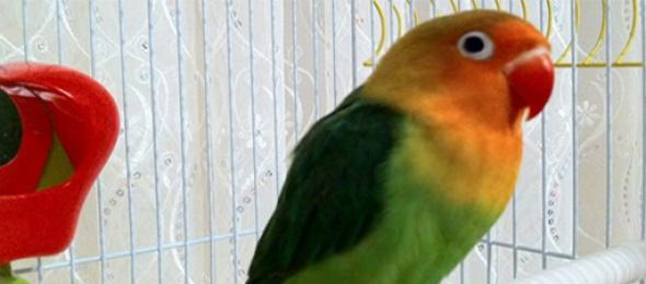 Cennet Papağanı Eğitimi ve Bakımı