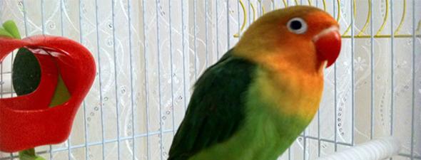 Cennet Papağanı Yeşil