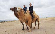 Moğolistan çöllerinde deve üzerinde