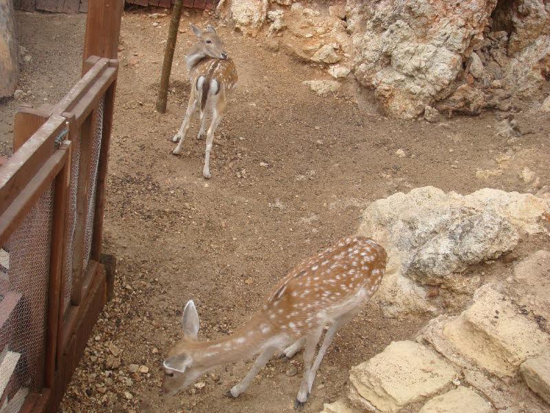 Temel Reis köyünde ceylanlar